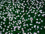 Wood Anemones (Anemone Nemorosa) on Forest Floor, Sodersen National Park, Sweden Photographic Print by Anders Blomqvist