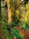 Hall of Mosses Trail, Olympic National Park, Washington, USA Photographic Print by Stephen Saks