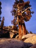 Looking Up at Bristlecone Pine Tree, Yosemite National Park, USA Photographic Print by Levesque Kevin