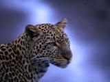 Leopard (Panthera Pardus), Masai Mara National Reserve, Kenya Fotodruck von Ariadne Van Zandbergen
