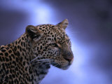 Leopard (Panthera Pardus), Masai Mara National Reserve, Kenya Photographic Print by Ariadne Van Zandbergen