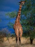 Reticulated Giraffe Eating from Tall Branch, Meru National Park, Eastern, Kenya Photographic Print by Ariadne Van Zandbergen