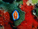 Flatworms and Other Creatures at Hannes Reef, Maldives Photographic Print by Casey Mahaney