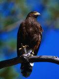 Harris Hawk (Parabuteo Unicintus), Perquin, El Salvador Stampa fotografica di Alfredo Maiquez