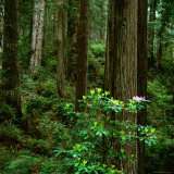 Rhododendron Bush in Front of Redwood Trees, Redwood National Park, USA Fotografisk tryk af Wes Walker
