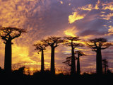 Giant Baobabs (Adansonia Grandidieri), Toliara, Madagascar Fotografisk tryk af Karl Lehmann