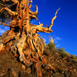 Gnarled Roots and Trunk of Bristlecone Pine, White Mountains National Park, USA Photographic Print by Wes Walker
