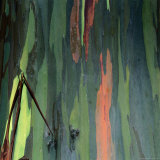 Detail of Eucalyptus Tree Bark, Haleakala National Park, Maui, Hawaii, USA Photographic Print by Wes Walker