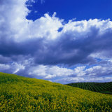 Clouds Over Yellow Mustard Crops and Vineyard, Napa Valley, USA Lámina fotográfica por Wes Walker