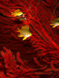 Juvenile Golden Damsels in Branches of Red Seafan in Fantasy Dome, Fiji Fotografisk tryk af Casey Mahaney