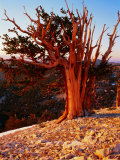 Bristlecone Pine in the White Mountains, eastern California Photographic Print by Rob Blakers