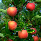 Ripe Apples on a Tree at the Apple Farm, Anderson Valley, Mendocino, California, USA Photographic Print by Wes Walker