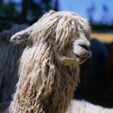 The White Huacaya Alpaca, Arequipa, Peru Fotografisk tryk af Wes Walker