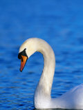 Mute Swan or White Swan (Cygnus Olor), United Kingdom Photographic Print by David Tipling