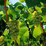 Chardonnay Grapes from the Napa Valley in California, Napa Valley, California, USA Photographie par Wes Walker