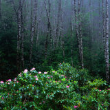Rhododendren and Western Hemlock Forest in the Del Norte Region, Redwood Nat. Park, California, USA Photographic Print by Wes Walker