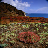 The Endemic Succulent Sesuvium at Punta Pitt, Isla San Cristobal, Galapagos, Ecuador Photographic Print by Wes Walker