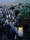 King Penguins (Aptenodytes Patagonicus) at Lusitania Bay Rookery, Macquarie Island, Antarctica Photographic Print by Grant Dixon