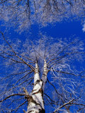 Birch Trees Covered in Frost, Finland Photographic Print by David Tipling