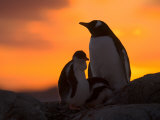 Gentoo Penguins Silhouetted at Sunset on Petermann Island, Antarctic Peninsula Photographic Print by Hugh Rose
