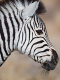Burchell&#39;s Zebra, Etosha National Park, Namibia Photographic Print by Michele Westmorland