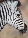 Burchell's Zebra, Etosha National Park, Namibia Photographic Print by Michele Westmorland