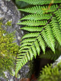 Ferns near Lake Moeraki, West Coast, South Island, New Zealand Photographic Print by David Wall