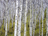 Aspen Grove near East Glacier, Montana, USA Photographic Print by Chuck Haney