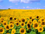 Wild Colors of Sunflowers, Jamestown, North Dakota, USA Fotodruck von Bill Bachmann
