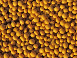 Ripe Soybeans Photographic Print by Chuck Haney