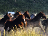 Horses Charge thru Pasture in Marion, Montana, USA Stampa fotografica di Chuck Haney