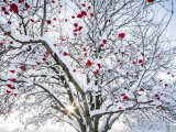 Mountain Ash Tree and Berries in Freshly Fallen Snow in Whitefish, Montana, USA Stampa fotografica di Chuck Haney