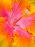 Pink and Yellow Hibiscus, San Francisco, California, USA Fotografisk tryk af Julie Eggers
