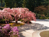 Cherry Tree Blossoms Over Rock Garden in the Japanese Gardens, Washington Park, Portland, Oregon Photographic Print by Janis Miglavs