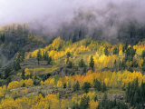 Autumn Aspen in Fog, San Juan Mountains, Colorado, USA Photographic Print by Chuck Haney