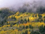 Autumn Aspen in Fog, San Juan Mountains, Colorado, USA Photographic Print by Chuck Haney
