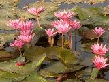 Pink Lotus Flower in the Morning Light, Thailand Papier Photo par Gavriel Jecan
