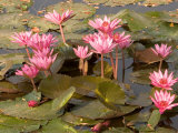 Pink Lotus Flower in the Morning Light, Thailand Fotografie-Druck von Gavriel Jecan