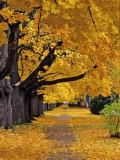 Autumn Maple Trees, Missoula, Montana, USA 写真プリント : チャック・ヘイニー