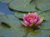 Water Lily in the Japanese Gardens, Washington Arboretum, Seattle, Washington, USA Fotografie-Druck von Darrell Gulin