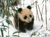 Panda Cub on Snow, Wolong, Sichuan, China Photographic Print by Keren Su