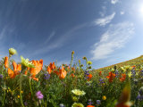 Poppies and Desert Dandelion Spring Bloom, Lancaster, Antelope Valley, California, USA Stampa fotografica di Terry Eggers