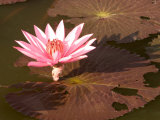 Lotus Flower in the Morning Light, Sukhothai, Thailand Photographic Print by Gavriel Jecan