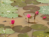 Lotus Flower, Ayuthaya, Thailand Photographic Print by Gavriel Jecan