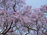 Jacarandas Trees Bloom in City Parks, Parque 3 de Febrero, Palermo, Buenos Aires, Argentina Photographic Print by Michele Molinari