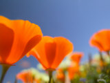 Poppies in Spring Bloom, Lancaster, California, USA Photographic Print by Terry Eggers