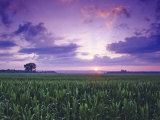 Sunrise over Field Corn, Hermann, Missouri, USA Stampa fotografica di Chuck Haney