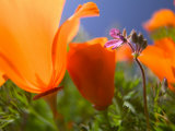 Poppies in Spring Bloom, Lancaster, California, USA Fotografie-Druck von Terry Eggers