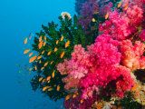 Multicolor Soft Corals, Coral Reef, Bligh Water Area, Viti Levu, Fiji Islands, South Pacific Photographie par Michele Westmorland