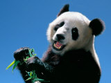 Panda Eating Bamboo, Wolong, Sichuan, China Photographic Print by Keren Su